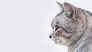 pet cat1